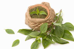 Fresh and dry basil , herbs and spices Stock Photography