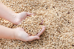 Fresh dry coffee beans in women farmer hand woman Royalty Free Stock Photo