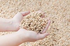 Fresh dry coffee beans in women farmer hand woman Stock Photo