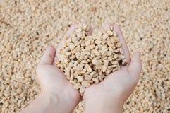 Fresh dry coffee beans in women farmer hand woman. Fresh dry coffee beans in women farmer hand Stock Photos