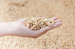 Fresh dry coffee beans in women farmer hand woman Stock Photography