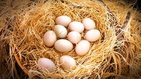 Fresh Duck`s Eggs in Haystack in the Farm. Closeup Fresh Duck`s Eggs in Haystack Basket in the Farm Royalty Free Stock Photo