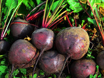 Fresh dug from the ground beet Royalty Free Stock Photos