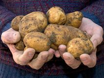 Fresh dug home grown potatoes in hand. Freshly dug, still muddy, organic and home grown garden produce royalty free stock photography