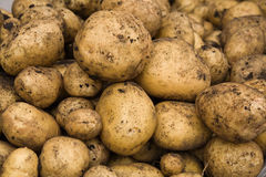 Fresh dug potatoes Stock Images