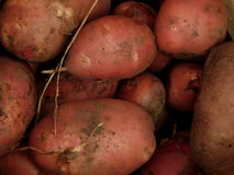 Fresh dug potatoes on the farm. Closeup royalty free stock images