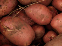Fresh dug potatoes on the farm. Closeup royalty free stock photography