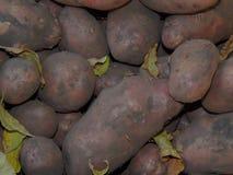 Fresh dug potatoes on the farm. Closeup Royalty Free Stock Photo