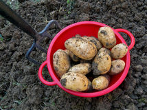 Fresh dug potatoes with garden fork Royalty Free Stock Photography