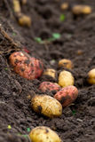 Fresh dug potatoes in the garden in the ground. Fresh dug potatoes in the garden, ground stock images