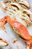 Fresh Dungeness crab on ice Royalty Free Stock Photography