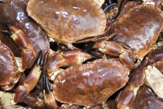 Fresh Dungeness Crabs Royalty Free Stock Image