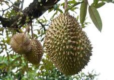 Fresh Durian. In tree at Chanthaburi, Thailand Royalty Free Stock Photos