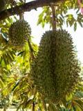 Fresh durian on durian tree. Stock Photos