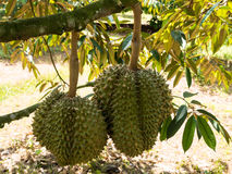 Fresh durian on durian tree. Royalty Free Stock Image