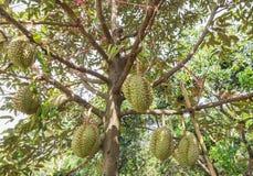 Fresh Durian Durio zibethinus king of tropical fruits growth in organic farm. Fresh Durian Durio zibethinus king of tropical fruits hanging on brunch tree growth Stock Photography