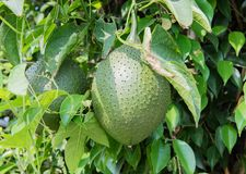 Fresh Durian fruit grows in a tree in Hanoi, Vietnam.  royalty free stock image
