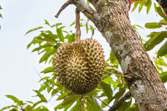 Fresh durian fruit Stock Photography