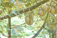 Fresh durian fruit on the tree in the garden, Royalty Free Stock Photo