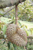 Fresh durian fruit on trees. Stock Photos