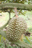 Fresh durian fruit on trees. Stock Photo