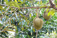 Fresh durian in the orchard Stock Photography