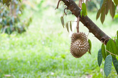 Fresh durian Royalty Free Stock Photography