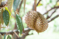 Fresh durian Royalty Free Stock Image