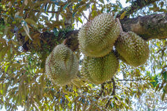 Fresh durian in the orchard Stock Photo