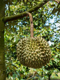 Fresh durian in the orchard. Stock Photo
