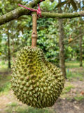 Fresh durian in the orchard. Stock Image