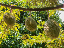 Fresh durian in the orchard. Royalty Free Stock Photography