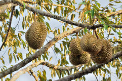 Fresh durian on tree. In the orchard stock image