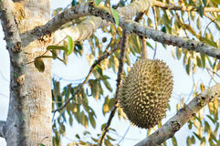 Fresh durian on tree. In the orchard stock photos