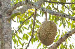 Fresh durian on tree. In the orchard Royalty Free Stock Photos