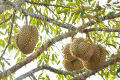 Fresh durian on tree. In the orchard Stock Images