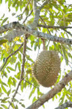 Fresh durian on tree. In the orchard royalty free stock photography
