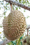Fresh durian on tree. In the orchard stock photography