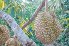 Fresh durian on tree. In the orchard Royalty Free Stock Images