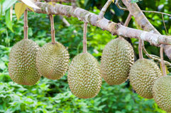 Fresh durian on tree Royalty Free Stock Photography