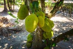 Fresh durians on tree, durian plantation in Thailand stock photo