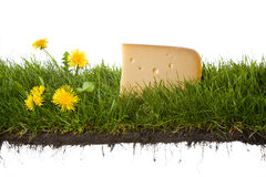 Fresh dutch cheese. A fresh chunk of dutch cheese on grass . isolated on a white background. please have a look at my other images about this theme Stock Images