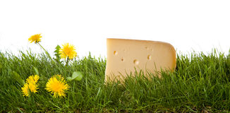 Fresh dutch cheese. A fresh chunk of dutch cheese on grass . isolated on a white background. please have a look at my other images about this theme Royalty Free Stock Photos