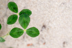Fresh dutch clover & x28;Trifolium repens& x29; on a sand background Royalty Free Stock Photo