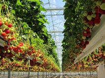 Fresh Dutch strawberry in a greenhouse royalty free stock photo