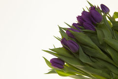Fresh Dutch tulips a bouquet of purple flowers on a white background. Fresh Dutch tulips a bouquet of purple flowers on a white background Royalty Free Stock Images