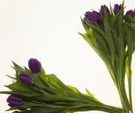 Fresh Dutch tulips a bouquet of purple flowers on a white background. Fresh Dutch tulips a bouquet of purple flowers on a white background Stock Photo