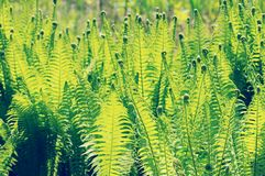 Fresh eagle fern (bracken) in springtime. vintage retouch of ima Stock Image