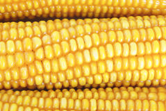 Fresh ear of corn Stock Images