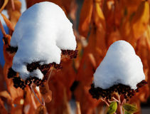 Fresh early snow on autumn joy Royalty Free Stock Photo